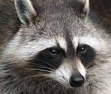 220px-Raccoon_(Procyon_lotor)_2