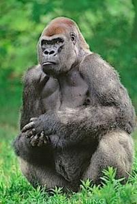 Ape 5