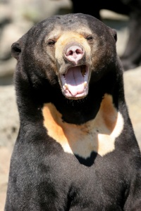 Laughing bear
