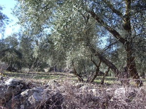 Olive trees just like here.