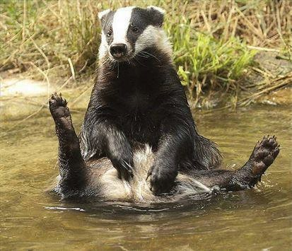 Badger bath
