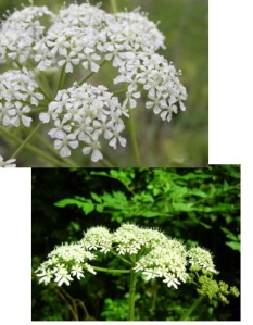 Hemlock or cow parsley?