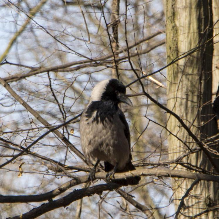 Corvus corone, Hooded Crow