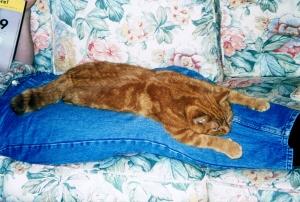 Custard cat