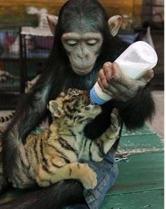 chimp-feeding-tiger-cub