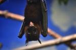 bat-singing